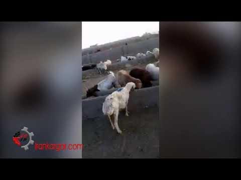وضعیت رو به ورشکستگی یک دامدار پرورش دهنده گوسفند - فیلم